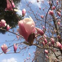 桜開花調査