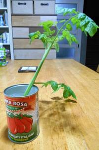 トマトの脇芽から