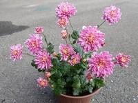 今日の花たち