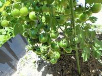鈴なりプチトマト