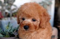 見て~!メチャメチャ可愛くなったトイプードルの子犬たち!