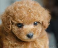 ちっちゃいけど可愛いアプリコットプードルの子犬でち!