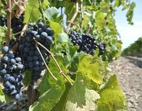 ワインを造るブドウのお話