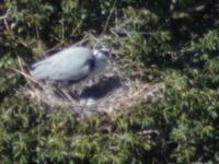 京都市街で大型野鳥の繁殖