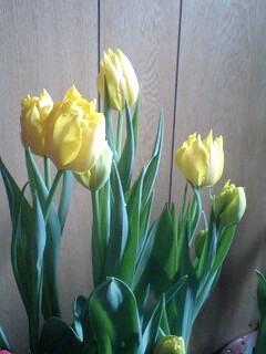 園芸茶房・なごみの早咲きチューリップ
