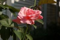 朝陽に草花