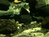 大鯰と大山椒魚