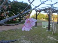 河津桜が咲始め