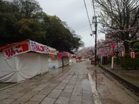 雨降りの桜道