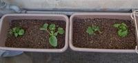 野菜の植え替え