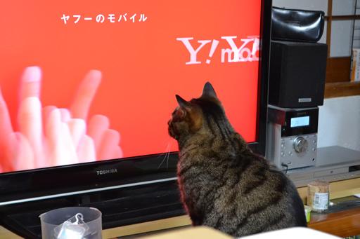 テレビだいすき猫