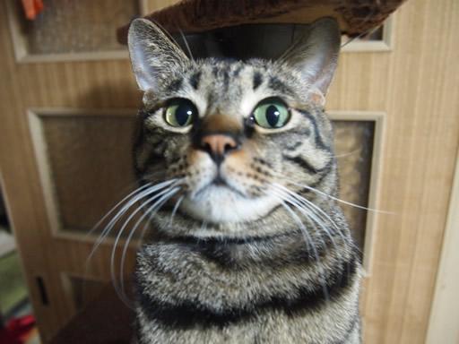 猫の遊びの顔