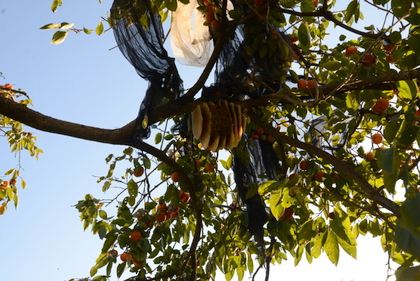 柿の木とミツバチの巣