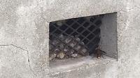 工場床下のオオスズメバチ駆除