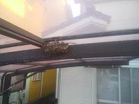 アシナガバチが最盛期 2015-7