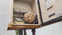 電器ボックス内のキイロスズメバチ駆除