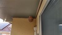 女王蜂がいなくなっているキイロスズメバチの巣