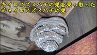 和歌山で初! チャイロスズメバチの駆除