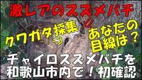 和歌山市で幻のチャイロスズメバチ見つかる!