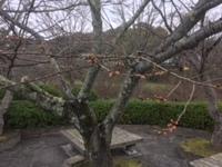 根来寺の桜(3月19日の朝)