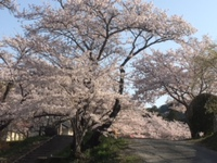 根来寺の桜(3月31日の朝)