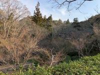 根来寺の桜(3月23日朝)