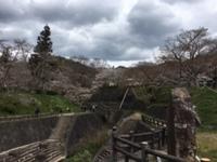 根来寺の桜(4月6日)