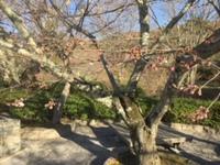 根来寺の桜(3月24日朝)