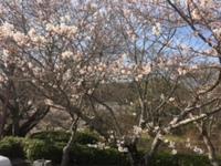 根来寺の桜と紀の川市桃源郷の桃(3月26日午後)