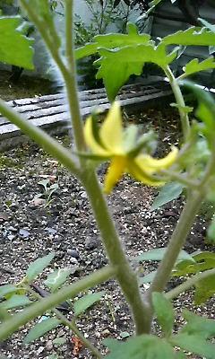トマトに花が咲きました♪