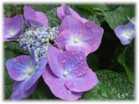 * 紫陽花 *