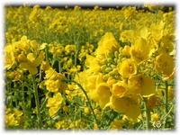* 幸せの黄色いじゅうたん *