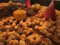 直営養鶏場