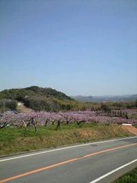 桜吹雪と桃の花