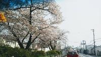 桜も終わりかなぁ