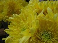 yellow mum♪