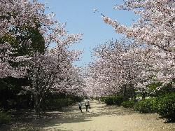 桜トンネル(河西公園)