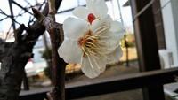 梅桃咲いてた