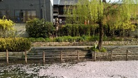 伏見みなと公園桜散る