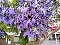 今年も咲いてますジャガランダ