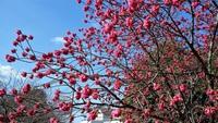 これがほんまの寒緋桜