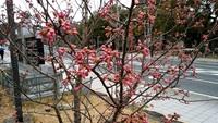 春めき桜 2018/03/08 19:32:46