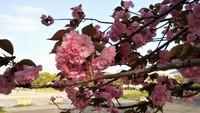 別の種類の桜も満開