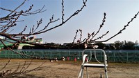 寒緋桜開花