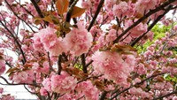 造幣局桜の通り抜け始まる