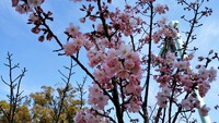 春めき桜 2018/03/13 14:10:01