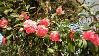 椿の花も満開