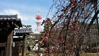 和城枝垂れ桜