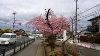 宮崎県も開花宣言