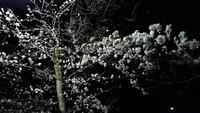 満開桜のゆれてる動画